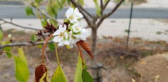 Cherry blossom in September 2018, with its white petals. royalty free stock images