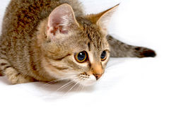 Vision of goals. Striped kitten plays on a white background Royalty Free Stock Image