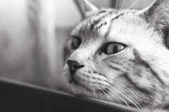 Visionary Cat portrait, black and white Stock Images