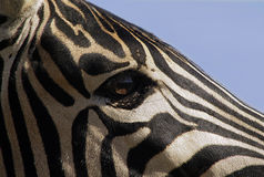 Visions of Africa. Up close and personal with a zebra stallion , Kruger National Park , South Africa Stock Photo