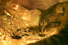 Visions of sugar mice?. Holiday photo shoot interloper naps amidst warmth of candle glow and mini lights whilst I took a phone call; having proclaimed him a Royalty Free Stock Photo