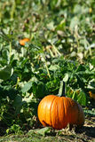 Visit to a Pumpkin Patch Royalty Free Stock Photo