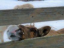 Visita dell'azienda agricola della renna in Lapponia finlandese Immagini Stock Libere da Diritti