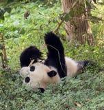 Visitando as pandas do parque Fotos de Stock