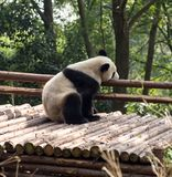 Visitando as pandas do parque Imagens de Stock