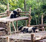 Visitando as pandas do parque Fotografia de Stock Royalty Free