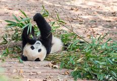 Visitando as pandas do parque Fotos de Stock Royalty Free