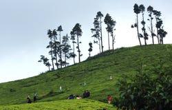 Visitantes no eatate do chá Imagem de Stock