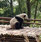Visitar las pandas del parque Imagenes de archivo
