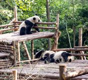 Visitar las pandas del parque Fotografía de archivo libre de regalías