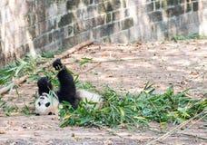 Visitar las pandas del parque Foto de archivo libre de regalías