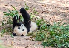 Visitar las pandas del parque Fotos de archivo libres de regalías