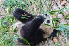 Visitar las pandas del parque Imágenes de archivo libres de regalías