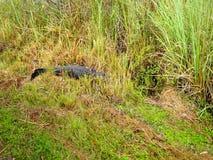 Visite d'alligator en parc national de marais banque de vidéos