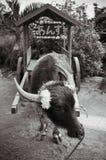 Visite de chariot de Baffalo sur la plage chez Iriomote, l'Okinawa, Japon image stock