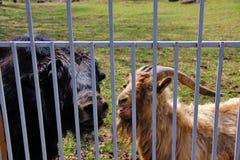 visite de yaks noirs et de chèvre sauvage Image libre de droits