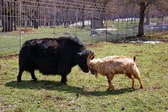 visite de yaks noirs et de chèvre sauvage Photos stock