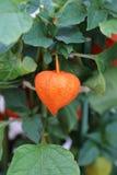 Visite Japón y las plantas medicinales hermosas de la linterna Imagen de archivo