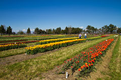 Visiteurs de ferme de tulipe Images libres de droits