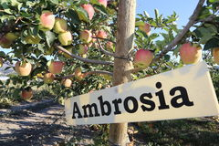 Visiti il Canada e visiti la Columbia Britannica di turismo dell'agricoltura di giri della mela dell'ambrosia Fotografia Stock
