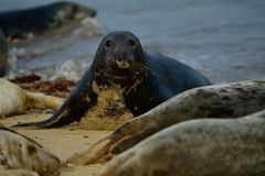Grey seals lounging on Horsey Gap beach Royalty Free Stock Images