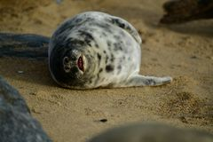 Grey seals lounging on Horsey Gap beach Stock Images