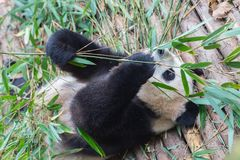 Visiting the park pandas Royalty Free Stock Images
