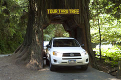 Visiting Redwood forest Royalty Free Stock Image