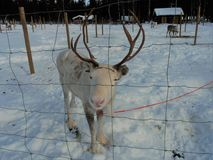 Visiting a Reindeer farm in Finnish Lapland. In Lapland reindeer husbandry is an important livelihood. Reindeer are semi wild animals. They are an icon for stock image