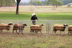 Visiting rural farmland. PAK CHONG, KORAT, THAILAND - JANUARY 15 : The unidentified cowboy is showing tourists how to use dog in round up sheeps on January 15 royalty free stock images