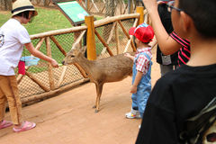 Visiting rural farmland. PAK CHONG, KORAT, THAILAND - JANUARY 15 : The unidentified girl is feeding deer on January 15, 2012 at Chok Chai Farm, Pak Chong, Korat royalty free stock image