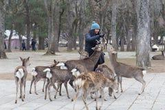 Visitor feeding tame wild deer in Nara Park, Japan Royalty Free Stock Photos