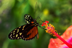 Visitor of hibiscus. Tropical butterfly dido longwing on the hibiscus flower Royalty Free Stock Photo
