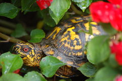 Ornate Box turtle in a flower bed Stock Photos