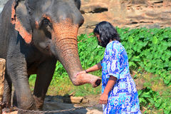 A Visitor to Pinnawala elephant orphanage is feeding an elephant. During river bath Stock Photos