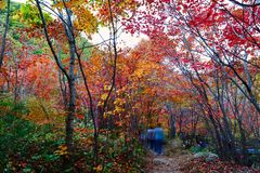 The visitors in autumn forest. The photo was taken in Yanghu gully of Benxi city Liaoning province, China. Benxi city is a capital of maple leaves in aun royalty free stock image