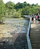 Visitors at Chek Jawa. Visitors walking along a wooden boardwalk elevated above the coastal mudflats at low tide and studying mangrove plants in Chek Jawa Royalty Free Stock Images