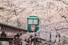 Visitors come to funaoka sendai to admire the blooming Sakura. And impressed with the tram to serve tourists. To facilitate the el stock images