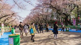 Visitors enjoy Cherry Blossom in Ueno Park Tokyo, Japan in Sakura Festival. 2018 stock video footage