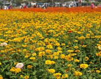 Visitors Enjoy Colorful Marigold Flowers Royalty Free Stock Photos