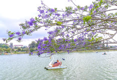 Visitors enjoy Jacaranda flowers bloom along Xuan Huong Lake Stock Images