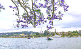 Visitors enjoy Jacaranda flowers bloom along Xuan Huong Lake Stock Image