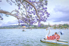 Visitors enjoy Jacaranda flowers bloom along Xuan Huong Lake Royalty Free Stock Photos