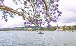 Visitors enjoy Jacaranda flowers bloom along Xuan Huong Lake Royalty Free Stock Photo