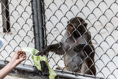 Visitors feed monkeys in a monkey house in Sukhumi, Abkhazia Royalty Free Stock Photography