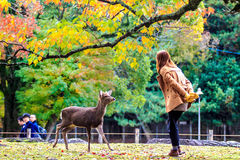 Visitors feed wild deer in Nara Stock Photos