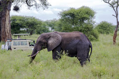 Visitors on jeep pictures of elephant in Tarangire National Park Stock Photography