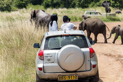 Visitors on jeep shoot  wild elephants crossing the road Royalty Free Stock Photography