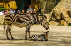 Free Visitors Of The Antwerp Animal Zoo Watching A Hartmann`s Mountain Zebra With Foal, Antwerpen, Belgium, April 23, 2019 Royalty Free Stock Photo - 148566865