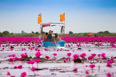 Visitors are sailing to see the red lotus in the lake. Visitors are sailing to see the red lotus in the lake at Udonthani Thailand royalty free stock images